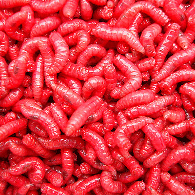 Red Maggots
